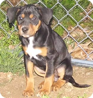 Sheila | Adopted Puppy | Bel Air, MD | Black and Tan ...