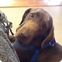 Adopt A Pet :: Lily - Oak Brook, IL