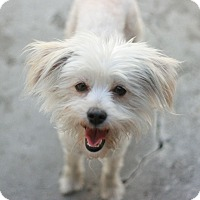 Adopt A Pet :: Pansy - Canoga Park, CA