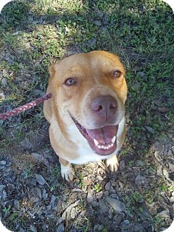Australian Cattle Dog Mix Dog for adoption in SAN ANTONIO, Texas - May