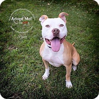 Pit Bull Terrier Mix Dog for adoption in Glenolden, Pennsylvania - Piper