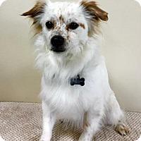 Adopt A Pet :: Opie - Alta Loma, CA