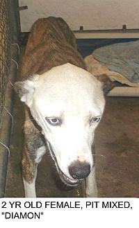 Catahoula Leopard Dog Mix Dog for adoption in Triangle, Virginia - Diamon