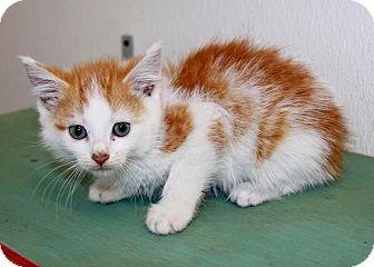 Siamese Kitten for adoption in Grinnell, Iowa - Stephen