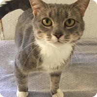 Domestic Shorthair Cat for adoption in Mount Pleasant, South Carolina - Alice