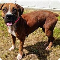 Boxer Dog for adoption in Austin, Texas - Yiyi