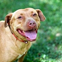Pit Bull Terrier Dog for adoption in Sussex, New Jersey - LADY LAUREL