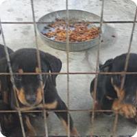 Adopt A Pet :: Tatt Rotty mixes - Brooksville, FL