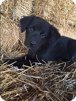 Labrador Retriever Mix Puppy for adoption in Bedminster, New Jersey - Slater