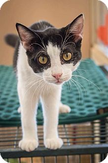 Domestic Shorthair Cat for adoption in Madionsville, Kentucky - Alfie
