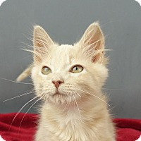 Domestic Shorthair Kitten for adoption in Columbia, Illinois - Jordan