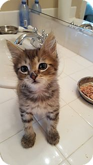 Maine Coon Kitten for adoption in Woodland Hills, California - Maple