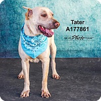 Shar Pei Mix Dog for adoption in Conroe, Texas - TATER