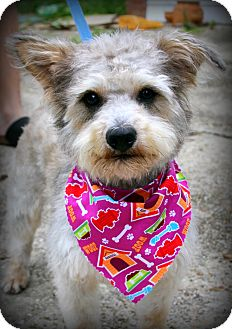 Schnauzer (Miniature)/Terrier (Unknown Type, Small) Mix Dog for adoption in Baton Rouge, Louisiana - Mr. Bungles