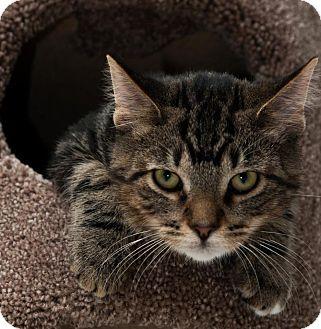 Domestic Shorthair Kitten for adoption in Byron Center, Michigan - Bebe