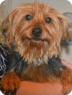 Yorkie, Yorkshire Terrier Dog for adoption in Greensboro, North Carolina - Reba