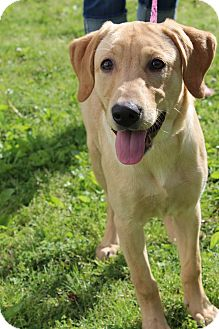 Labrador Retriever Puppy for adoption in Hagerstown, Maryland - Sadie