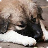 Adopt A Pet :: Bear - Austin, TX