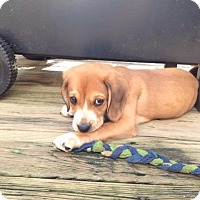 Adopt A Pet :: Duncan - Richmond, VA