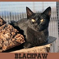 Domestic Shorthair Cat for adoption in Alamogordo, New Mexico - BLACKPAW