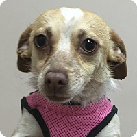 Adopt A Pet :: TinkerBell - Hagerstown, MD