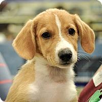 Adopt A Pet :: Fig - Gainesville, FL