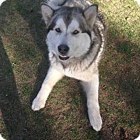 Adopt A Pet :: Jaxx - Egremont, AB