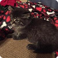 Adopt A Pet :: Mufasa (Has Application) - Washington, DC