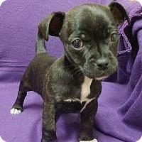 Adopt A Pet :: Penelope - Joliet, IL