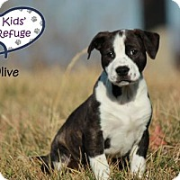 Adopt A Pet :: Olive - Lee's Summit, MO
