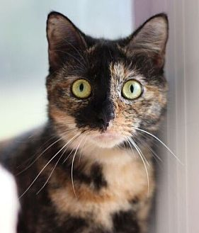 Domestic Shorthair Cat for adoption in Raleigh, North Carolina - Marble Cake (FeLV+)