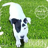 Adopt A Pet :: Buddy - West Hartford, CT