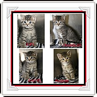 Domestic Shorthair Kitten for adoption in Marietta, Ohio - Joey Chandler Rachel Phoebe