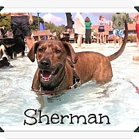Rhodesian Ridgeback/Plott Hound Mix Dog for adoption in Arlington, Texas - Sherman