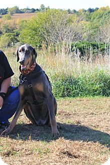 Doberman Pinscher Dog for adoption in Omaha, Nebraska - Gabe