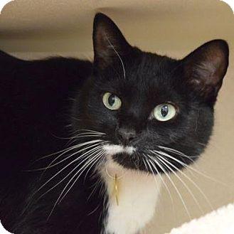 Domestic Shorthair Cat for adoption in Denver, Colorado - Pepper