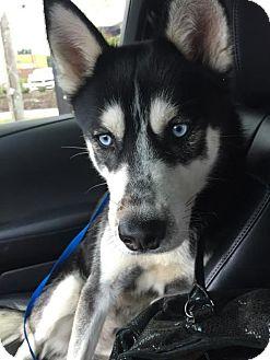 Siberian Husky/Husky Mix Dog for adoption in Winter Park, Colorado - Steele