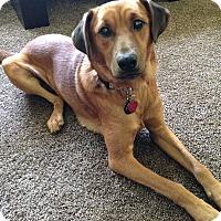Labrador Retriever Mix Dog for adoption in Minneapolis, Minnesota - Ducky
