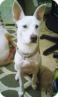 Shepherd (Unknown Type)/Cattle Dog Mix Puppy for adoption in New Braunfels, Texas - Nikki