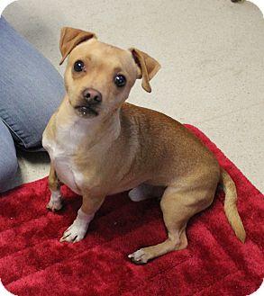 Chihuahua/Shih Tzu Mix Dog for adoption in Rancho Cordova, California - Chip
