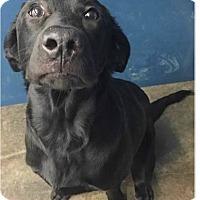 Adopt A Pet :: Clarice - Springdale, AR