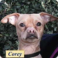 Adopt A Pet :: Corey - El Cajon, CA