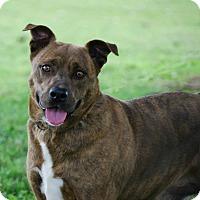 Plott Hound/Boxer Mix Dog for adoption in Union City, Tennessee - Roxie