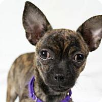 Adopt A Pet :: Lulu - Colorado Springs, CO