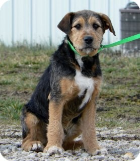 Grover | Adopted Puppy | St. James, MO | Airedale Terrier Mix