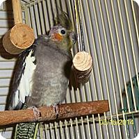 Adopt A Pet :: Pixie - Shawnee Mission, KS