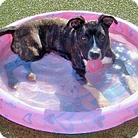 American Pit Bull Terrier/American Pit Bull Terrier Mix Dog for adoption in Richmond, California - Cheyanne