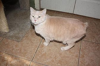 Manx Cat for adoption in Cypress, Texas - TWIGGY