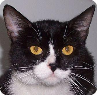 Domestic Shorthair Cat for adoption in Andover, Kansas - Juno