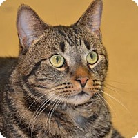 Domestic Shorthair Cat for adoption in Brick, New Jersey - Brando Marlon